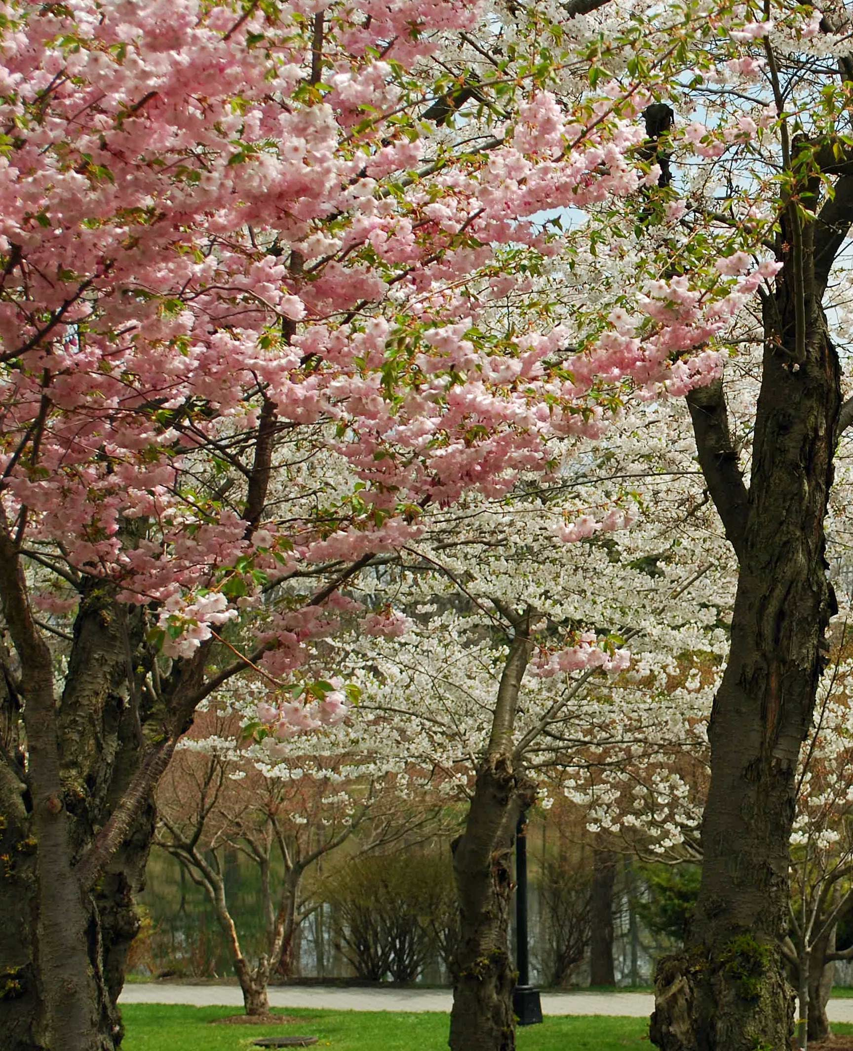 2018 Cherry Blossom Festivals - Japan Info Newsletter - Consulate ...