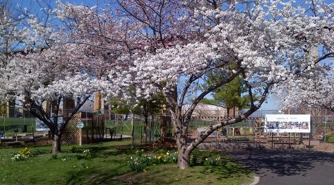 date april 30th to may 7th 2016 venue japanese garden in delaware park buffalo new york the third annual buffalo cherry blossom